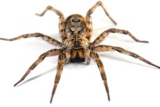 Απεντόμωση Αράχνης