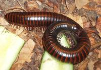 millipedes01