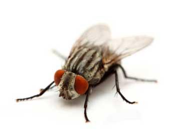 Μύγες πρόληψη