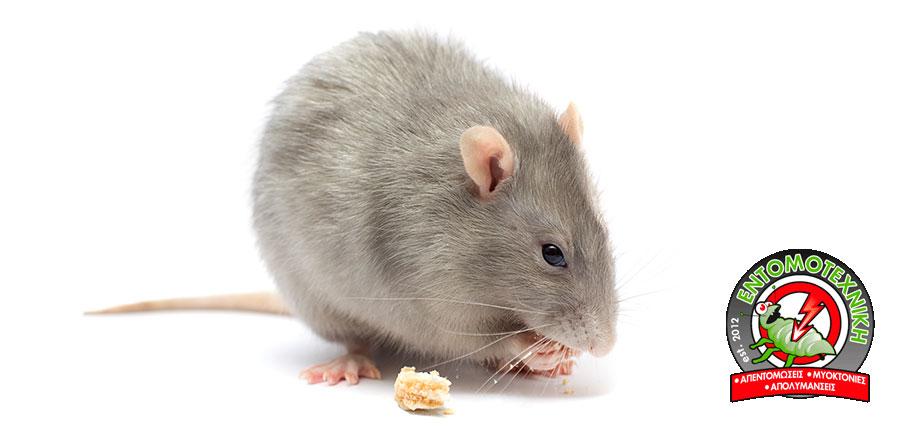 Ποντίκι σε λευκό φόντο που τρώει. Τα υπολείμματα φαγητού προσελκύουν ποντίκια στο σπίτι.