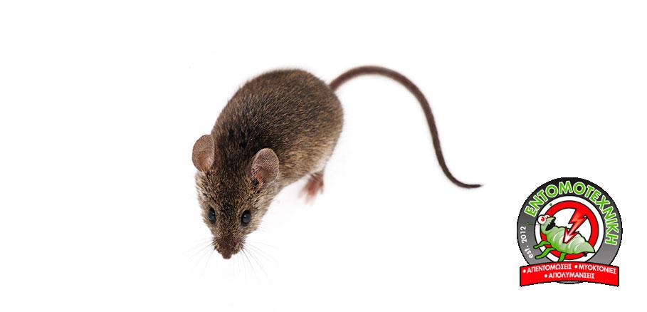 Ποντίκι σε λευκό φόντο. Τα ποντίκια στο σπίτι αποτελούν συχνό πρόβλημα