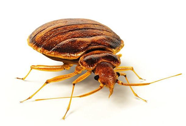 Lifelike 3D rendering of a bedbug.