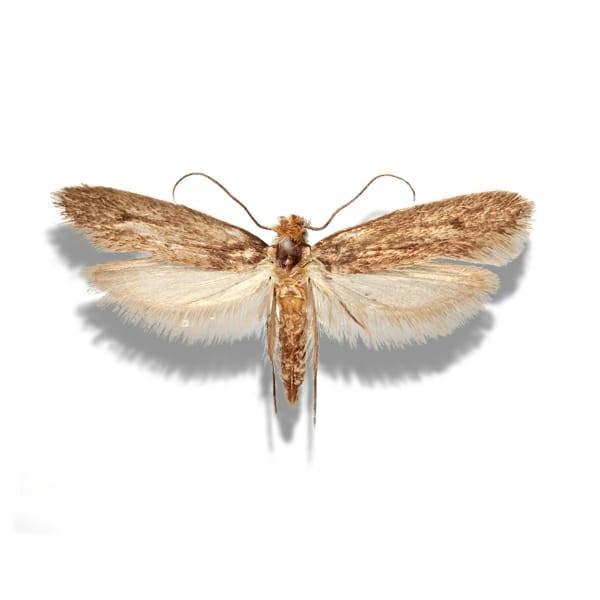 clothe moth jpeg