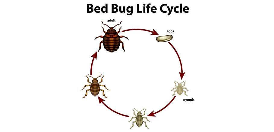 Τα στάδια ζωής του κοριού ως έντομο