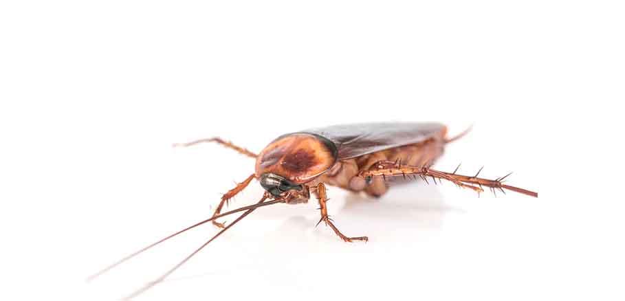 Εικαστικό με καφετιά κατσαρίδα. Ένα απ' τα έντομα που συναντάμε το καλοκαίρι.